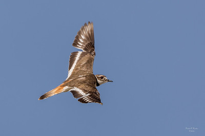 Nevada Killdeer