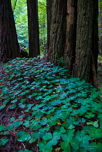 Clover In The Forest
