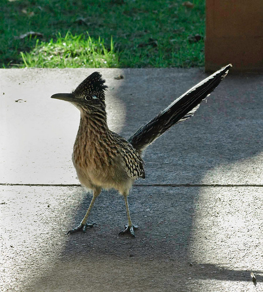Every year, in the same months, I have a Roadrunner, or two, visit my backyard for a week or so. They are very aggressive and are curious of the clicking shutter. I have heard that the clicking / ratcheting sound made is similar to a mating sound. They are omnivores and eat snails, insects, lizards, baby birds, and snakes (including rattlesnakes). They are related to the Cuckoo family. I also like the prehistoric look of the Roadrunners. More pictures of these birds are in my gallery.