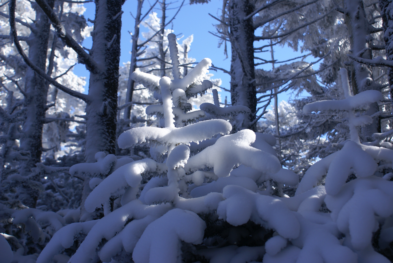 Snowy pine or fir from the Cloudland trail on the way to the upper bluff Roan Mountain