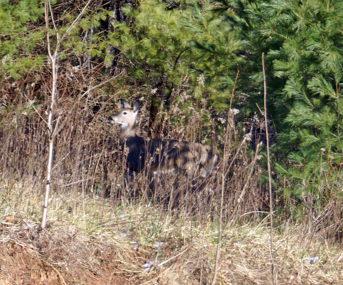 White-tailed deer hiding in trees