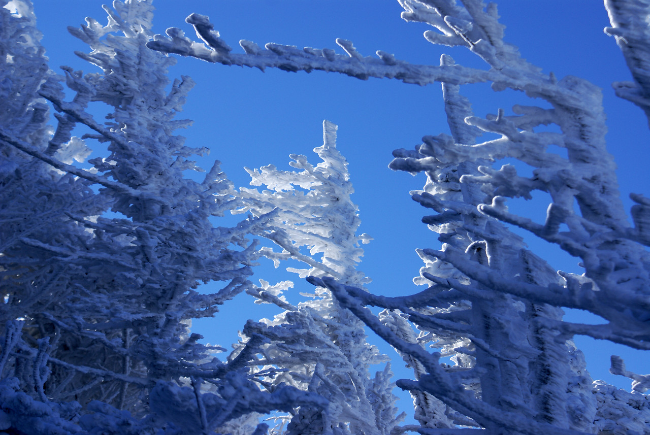 More Frozen Trees near south bluff of Roan Mountain\'s Cloudland Trail.