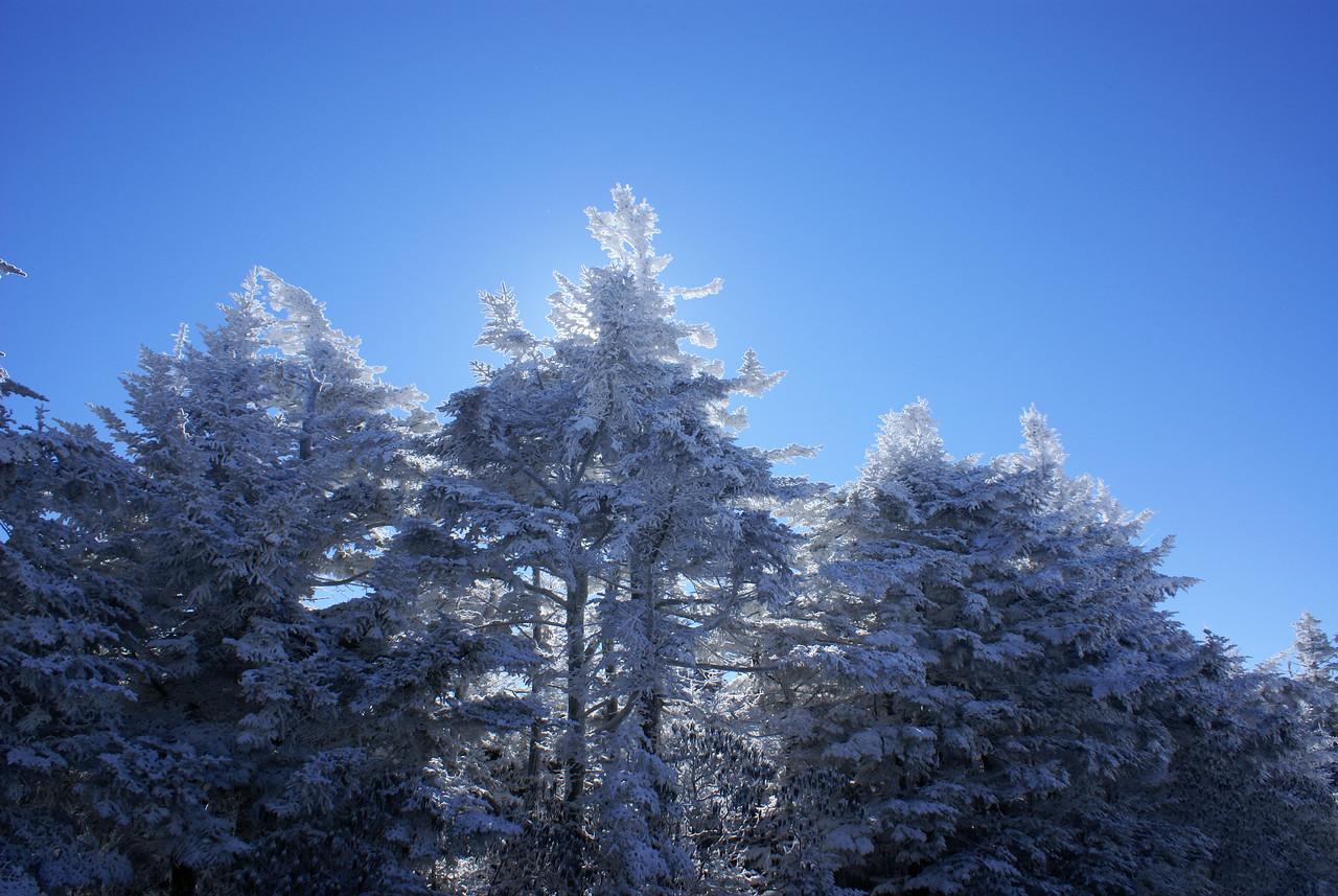 Trees near trail head on Roan Mountain