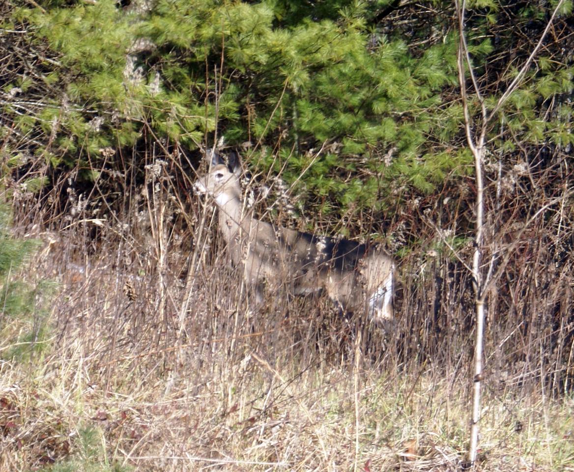 White tailed deer near Bakersville, NC