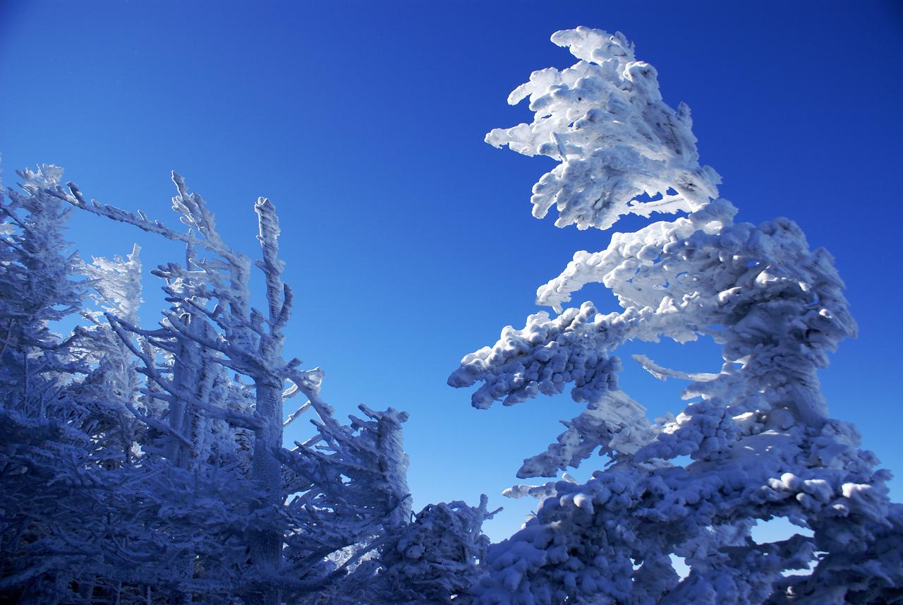 Frozen Trees near south bluff of Roan Mountain\'s Cloudland Trail.
