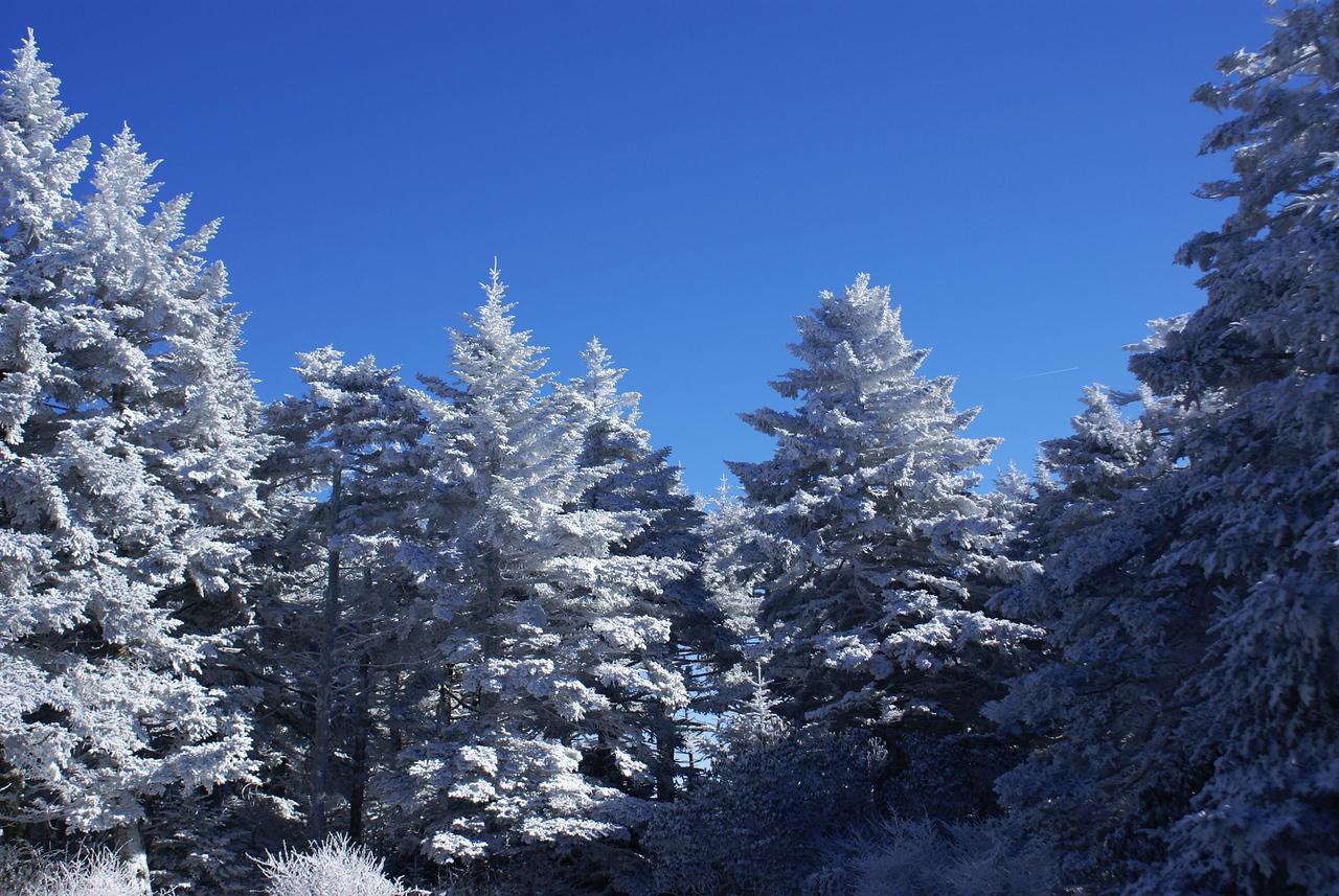 More pretty trees - Roan Mountain