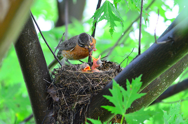 Robin's Nest in Silver Maple