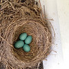 No new eggs yet, but I have noticed that they are rotating the eggs.