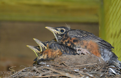 Baby Robins in the nest.  The day after this picture was taken, they all flew the coop - #9401.