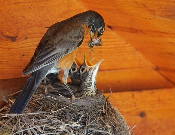 Male Robin feeding 13-day old chicks a grasshopper