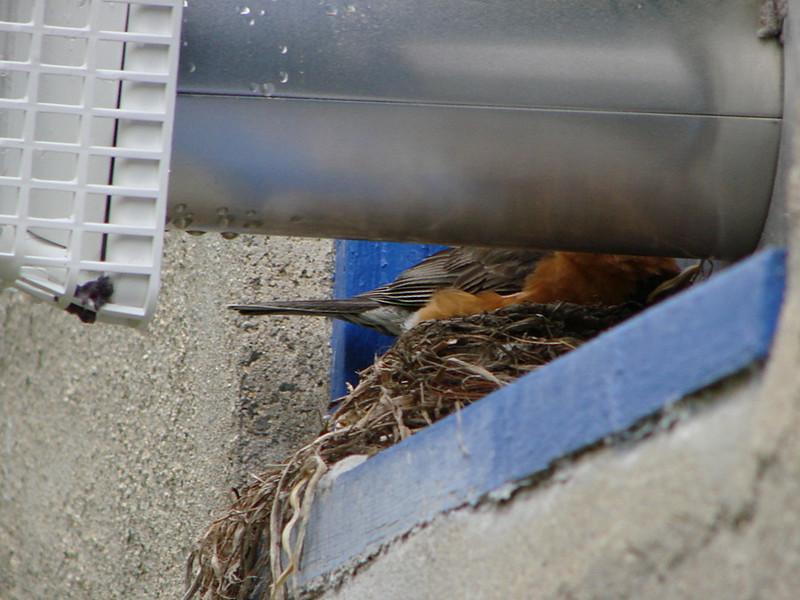 5/17/08 - Parent on nest.