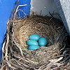 4-26-08 - Beautiful blue eggs.