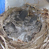 5/19/08 Two birds almost grown.  How would more fit in the nest?