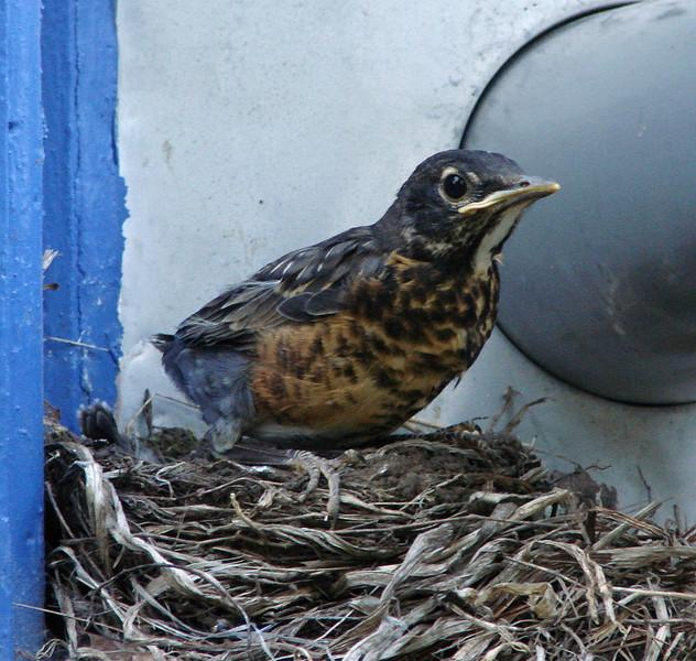 5/21/08 - Seconds before leaving the nest.