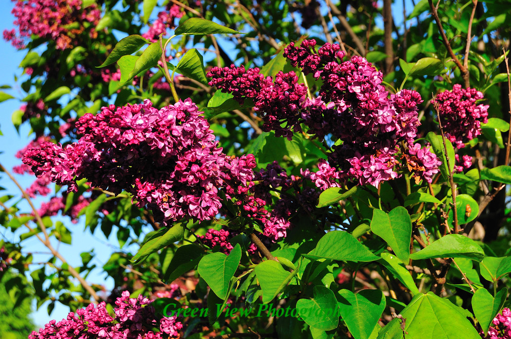 Beautiful Lilac Bush