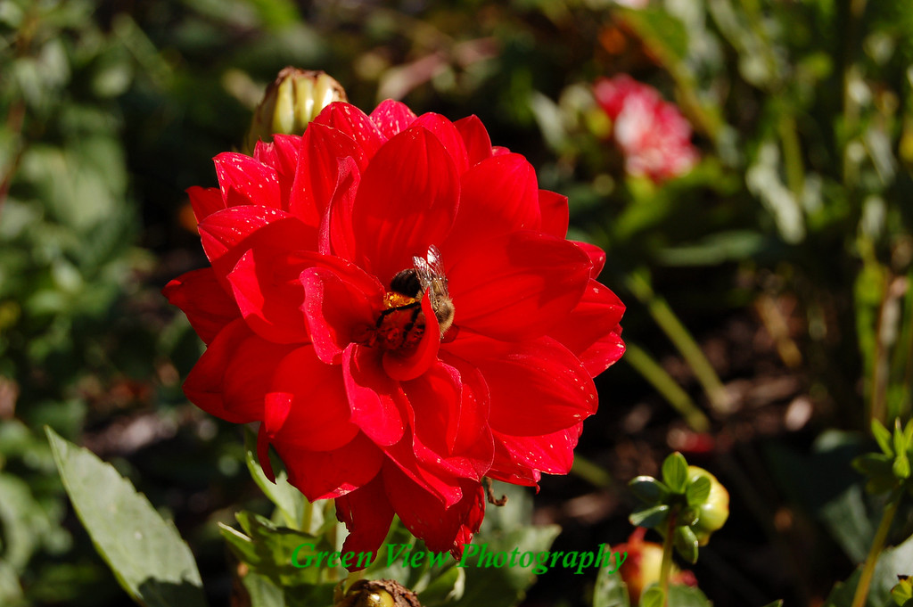 Red Rose with Bee