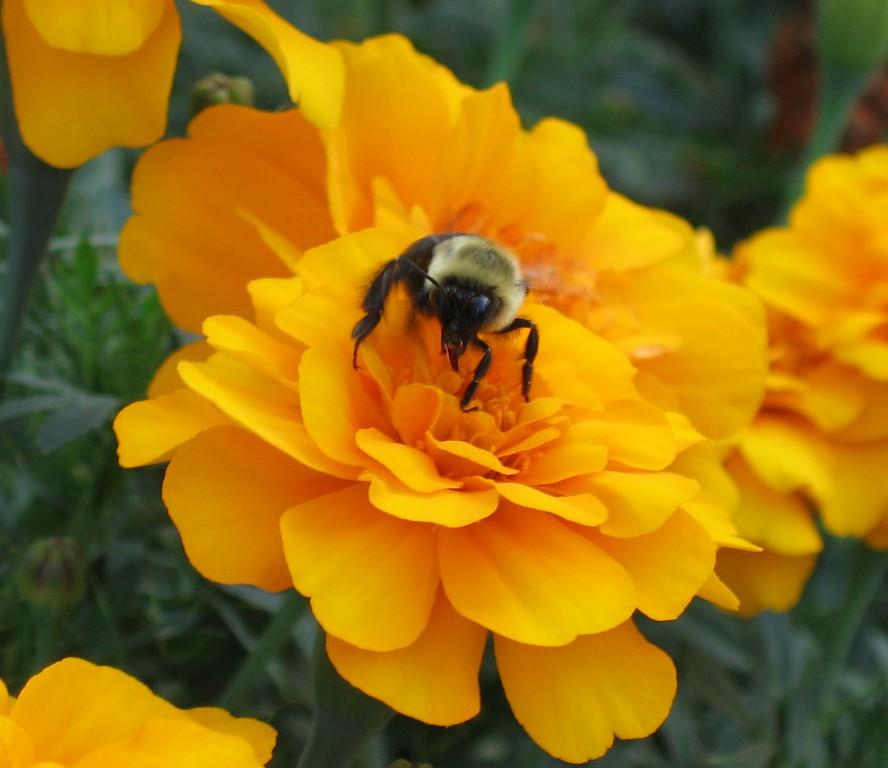 Bee on Merigold