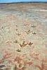 AZ-Fossil,track3-Dinosaur tracks. 2019.6.17#012. Same info as the previous image. Moenkopi Dinosaur track site, near Tuba City, Arizona.