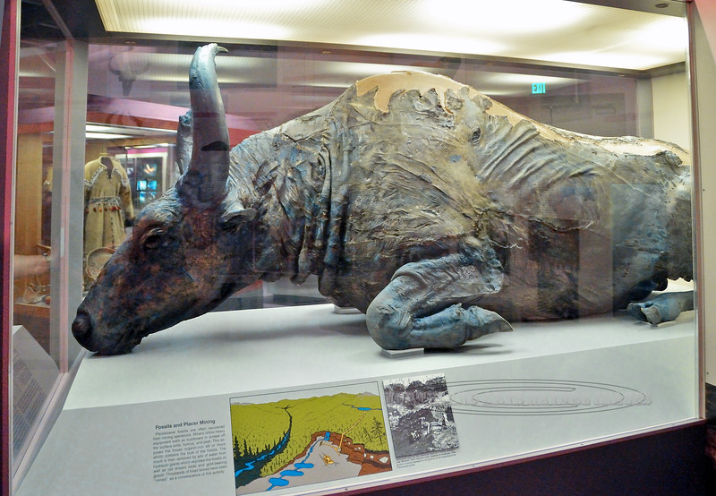 "AK-Fossil, ""Blue Babe""a. Bison priscus, the prehistoric Steppe Bison that was discovered mummified north of Fairbanks Alaska. It was found by placer miners Walter and Ruth Roman in 1979. Paleontologist Dale Guthrie supervised the  recovery and reconstruction for the University of Alaska Museum of the North. It was killed 36,000 years ago by a prehistoric American Lion. It's blue color for which it was named was the result of the white phosphate mineral coating of vivianite having a reaction with iron in the soil when exposed to the air. 2008.7.1#229.2. Museum of the North Fairbanks Alaska."