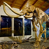 ID-2014.5.14#137.2. The Tolo Lake Columbian Mammoth. Exhibit Pavilion, Grangeville Idaho.