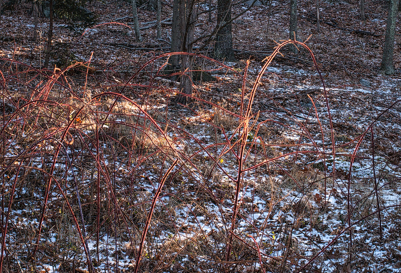 Wild Raspberries in January, 2015