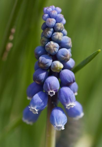 19 Rock Hill Rd - Bedford, NY - Grape Hyacinth