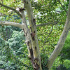 sycamore tree, with its distinctive seding bark