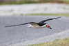 Black Skimmer with small fish for its mate
