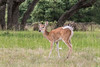 White-tailed Deer - young buck