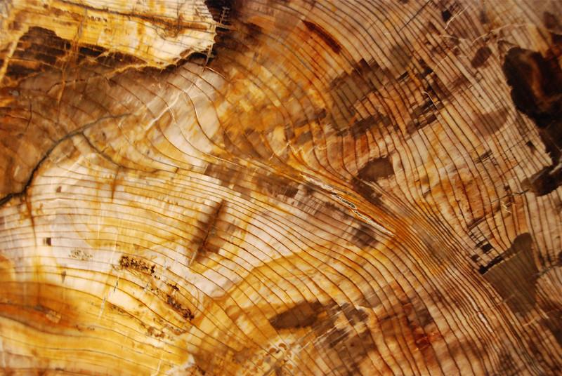 Sequoia tree trunk (Sequoia sempervirens) Miocene