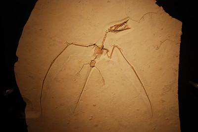 Pterodactyl (Rhamphorhyncus) Upper Jurassic, Solnhofen Limestone Eichstatt, Germany