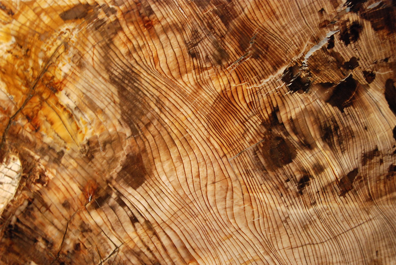Sequoia tree trunk (Sequoia sempervirens)