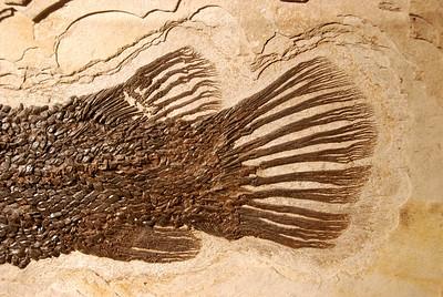 Gar (Lepisosteus atrox) Eocene Kemmerer, Wyoming Green River Formation