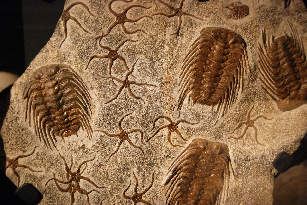 Trilobites and brittle stars (Selenopeltis & Ophiuroidae) Ordovician (464 m.y.) Katoua Formation Mecissi, Morocco