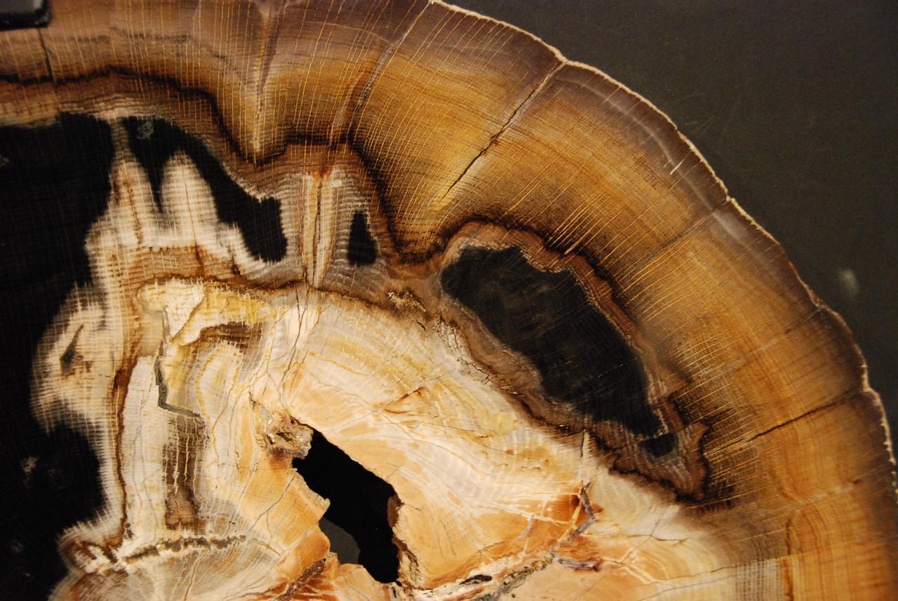 Silicified oak Miocene Oregon