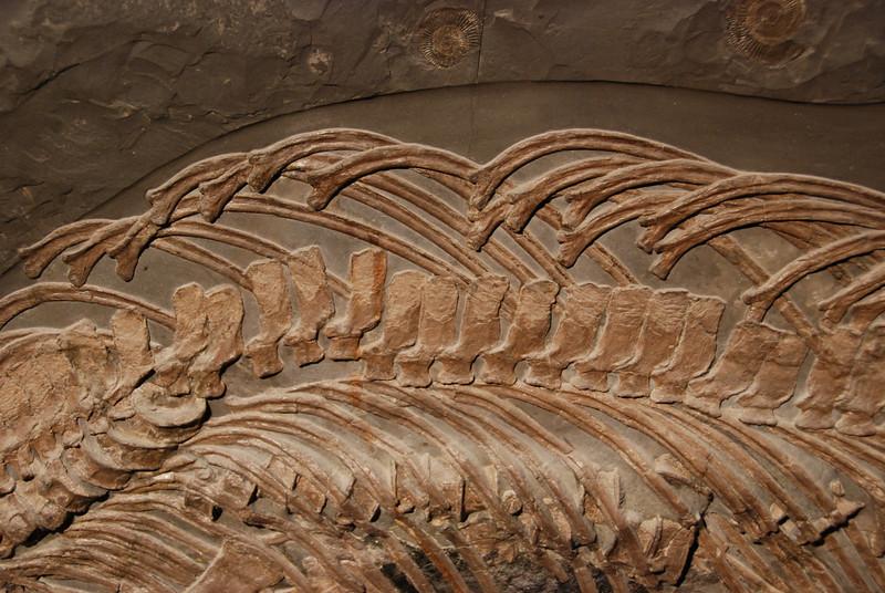 Ichtyosaur (Stenoptygerius quadriscissus) Posidonia Shale, Jurassic Holzmaden, Germany