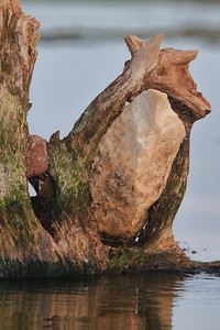 This ancient tree grew around this rock- Pelican Lake