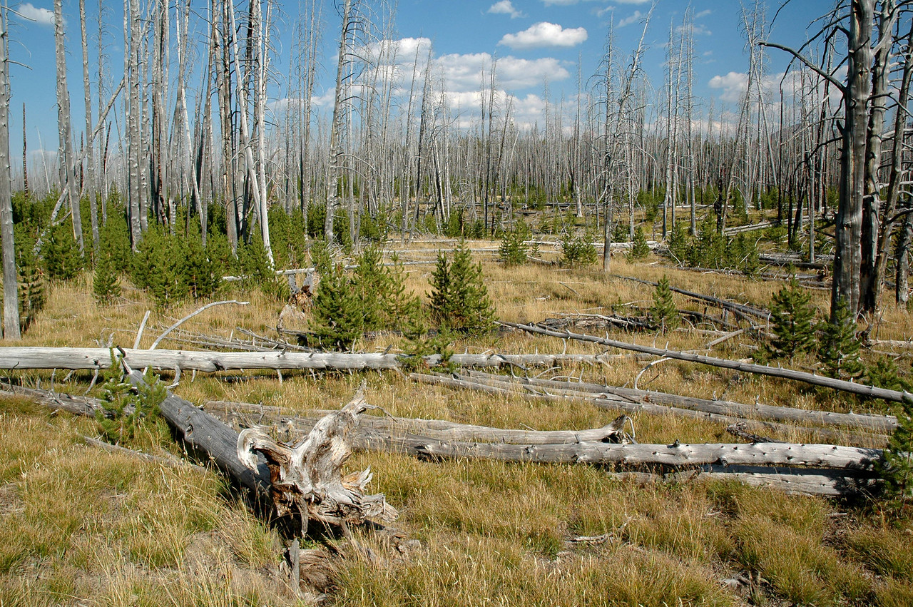 Forest after the 1988 fires (in 2005), Yellowstone NP