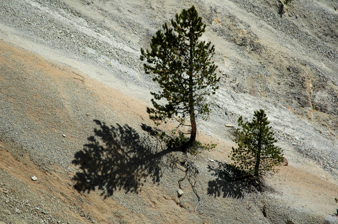 Trees, Grand Canyon of the Yellowstone