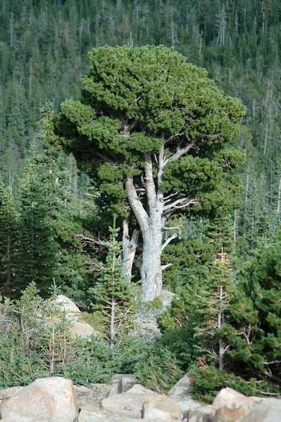 Douglas fir (?)
