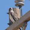 A very tolerant Swainson's Hawk.
