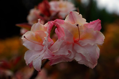 Rhododendron Park – Alppiruusupuisto #14