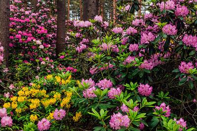 Rhododendron Park – Alppiruusupuisto #39