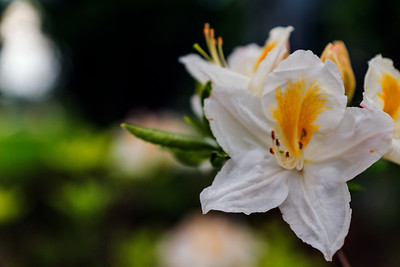 Rhododendron Park – Alppiruusupuisto #3