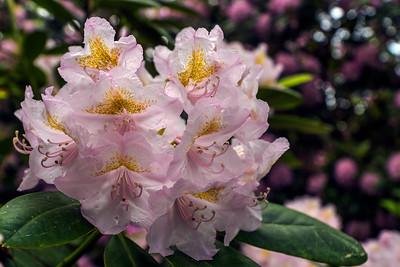Rhododendron Park – Alppiruusupuisto #18