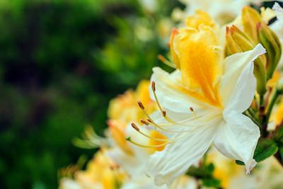 Rhododendron Park – Alppiruusupuisto #45