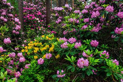 Rhododendron Park – Alppiruusupuisto #40