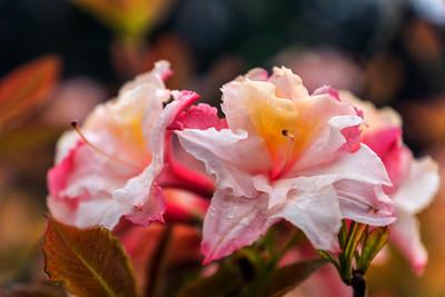 Rhododendron Park – Alppiruusupuisto #12