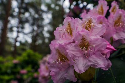 Rhododendron Park – Alppiruusupuisto #19