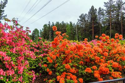 Rhododendron Park – Alppiruusupuisto #11